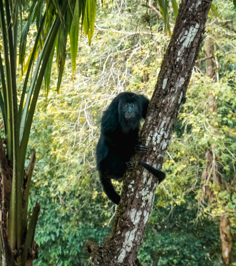 howler monkey Tikal Guatemala